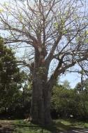 Baobab... árvore da África...