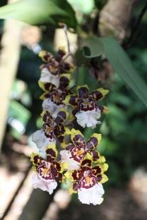 Orquídea com cheiro de chocolate... tudo de bom... hummmm :) :)